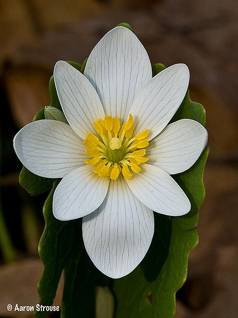 Bloodroot: Sanguinaria canadensis - Flickr - Photo Sharing!