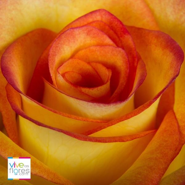 Jovialidad y amistad, son algunos de los significados de esta Rosa. Las rosas bicolores amarillo de Vivelasflores.com podrán llevar este mensaje a quien quieras...