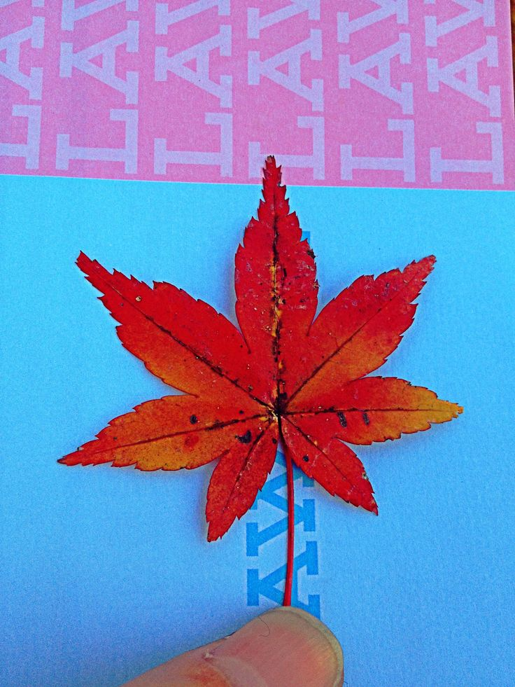 December 2012 - Autumn leaf from Inokashira Park, Japan. Though it was winter time, but the autumn leaves of the trees in the park were still around to add colours to the white winter. Picked up a leaf to capture the beauty of the red.