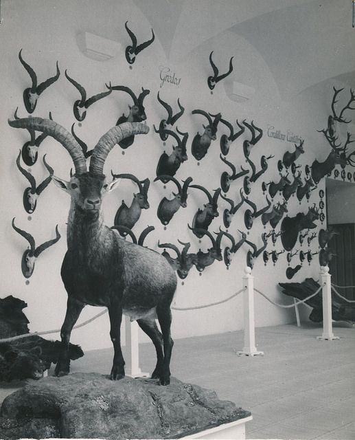 Exposición del primer concurso nacional de trofeos de caza mayor. Madrid | Flickr: Intercambio de fotos
