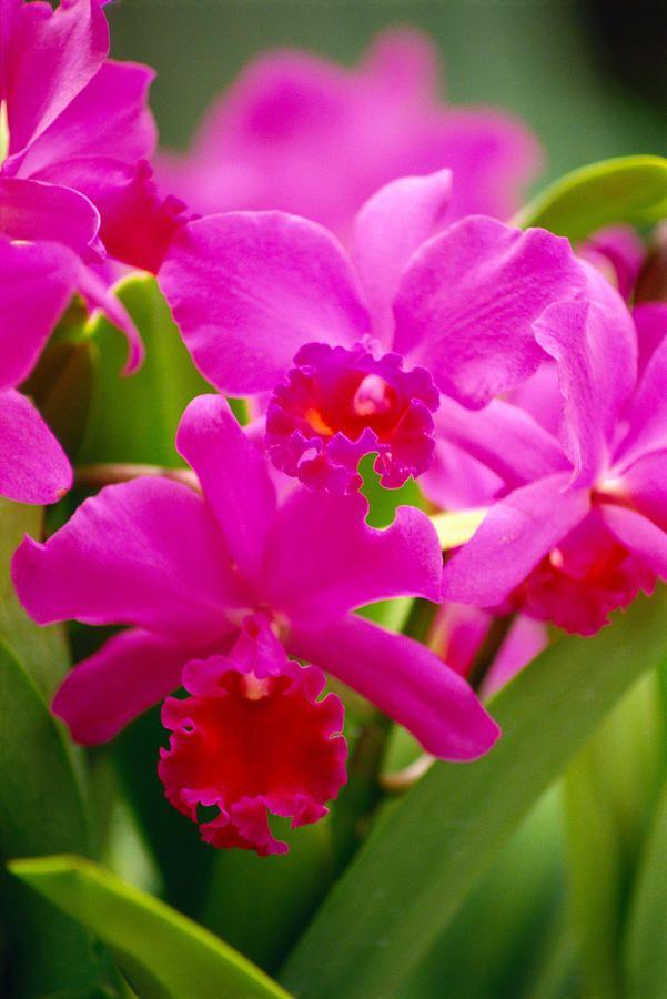 Pink Cattleya Orchids