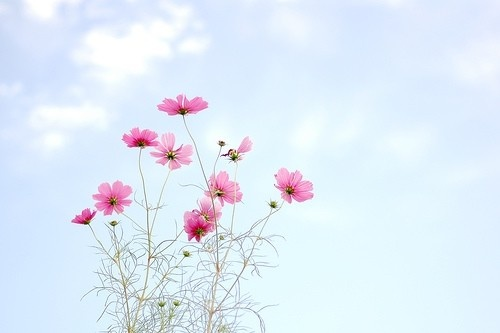 i miss cosmos flowers