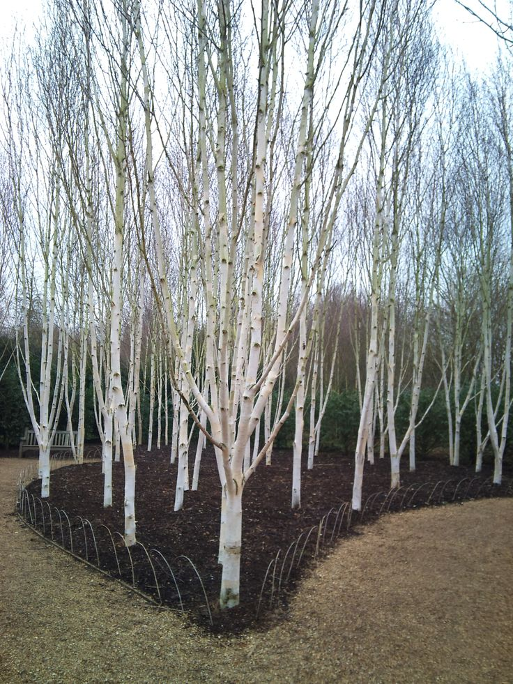 107 Best Images About G Trees Betulas Birch On