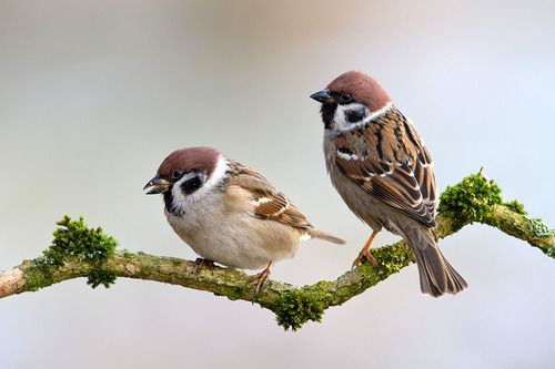 The Eurasian Tree Sparrow, Passer montanus; Eurasia and Southeast Asia. This species has been introduced to the United States.