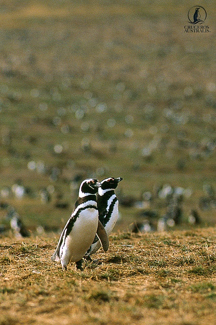 #Penguins are among some of the wildlife you will see in #Patagonia with Cruceros Australis www.australis.com  #travel #cruise #SouthAmerica #wildlife