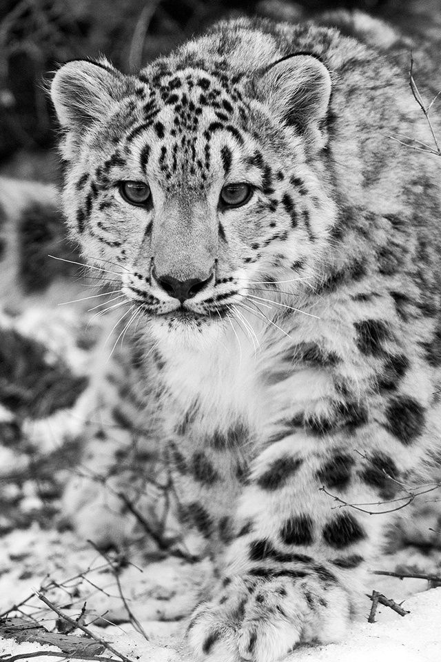 snow leopard is a pretty and majestic feline, he have the right bearing to be in beaty of nature.
