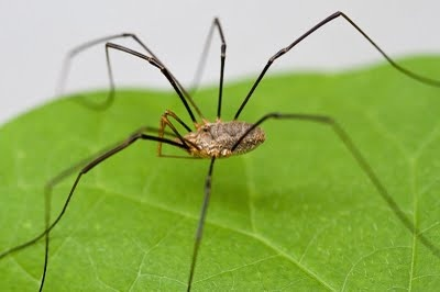 Daddy Long Legs: Pholcus phalangioides