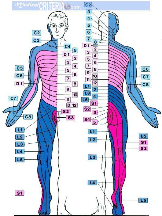 Aprende de una manera fácil el área de la piel inervada por una raíz o nervio dorsal de la médula espinal (DERMATOMA) + VIDEO.