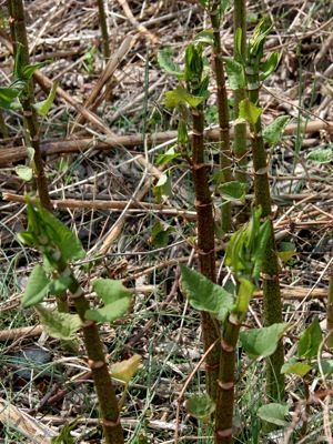 Spring green  Pick your own Japanese knotweed shoots
