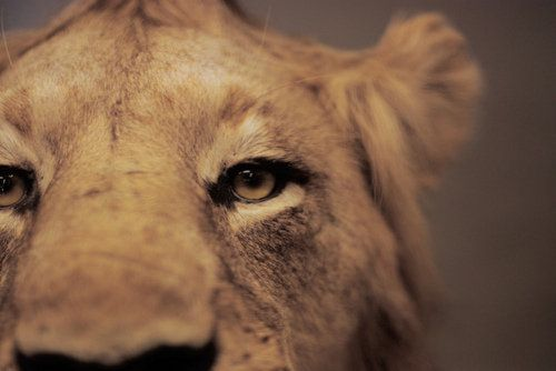 portrait: Big Cats, Animals, Creature, Beautiful, Things, Lions, Photography, Eye