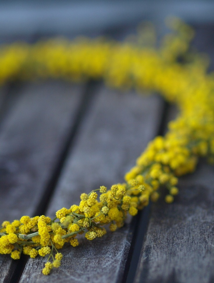 Yellow wreath made from mimosa blooms.: