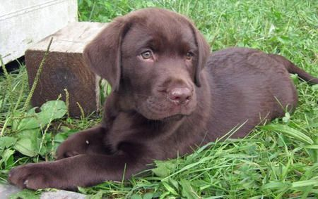 a chocolate lab pup is on my christmas list... in case any of you are feeling extra giving ;)