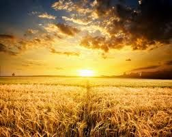 wheatfields - Google Search