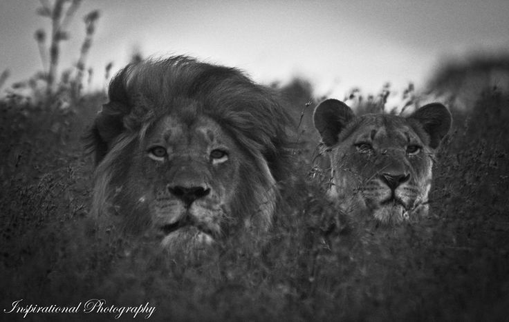 Lions on Amakhala Game Reserve Photo By Ranger Kyle Ansell