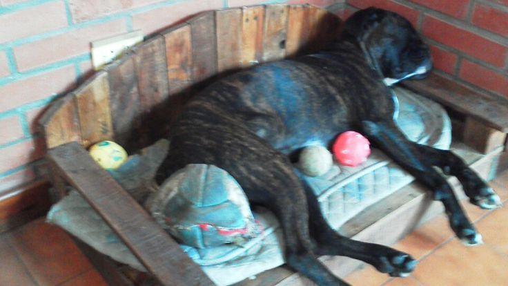 Custodiando las mil y una pelotas. Rocco #Boxer #Atigrado