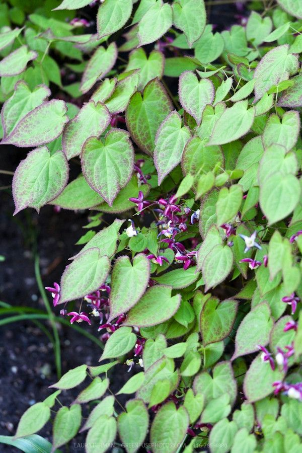 Epimedium (barrenwort) - can tolerate dry shade such as the base of a tree (once established). Red spring flowers, heart shaped leaves, and bronze fall foliage make this a multi-functional plant. - Deer Resistant Rutgers rating: A