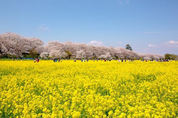 SAKURA Cherry Blossoms in JAPAN 権現堂公園 桜 saitama