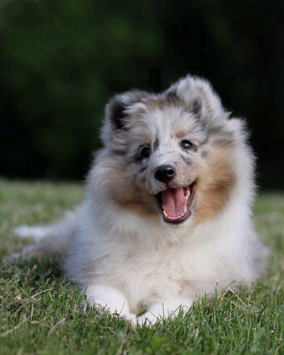 Blue Merle Sheltie - Cutest puppy ever!                                                                                                                                                                                 More