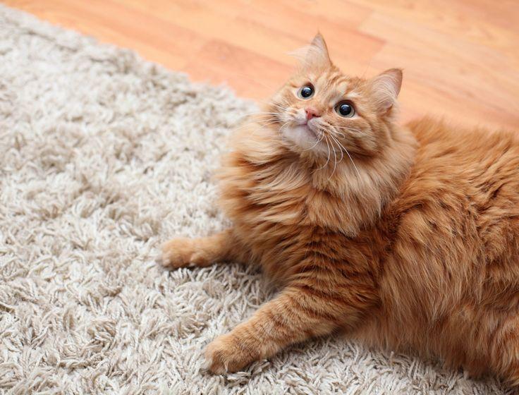 Como remover manchas de urina de gato do carpete