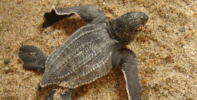 Most of sea turtle species are born in Mexico