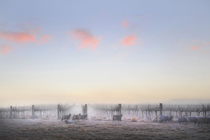 Morning Frost, Mudgee. By Amber Hooper