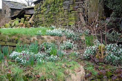Glorious late blooming snowdrops