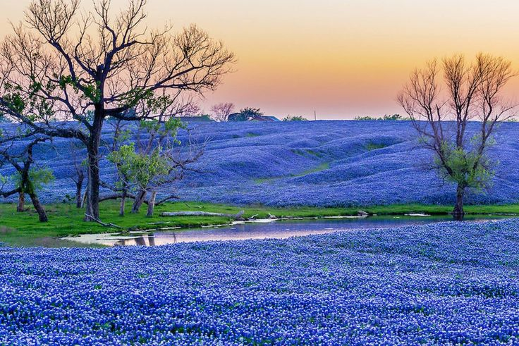 BLUEBONNET PARADISE: Just south of Dallas on Interstate 45 is the town of Ennis, Texas. Ennis boasts over 40 miles of mapped Bluebonnet Trails for auto touring, sponsored by the Ennis Garden Club. These are said to be the oldest such trails in the state, and tens of thousands of visitors make the trek each year. The Ennis Bluebonnet festival is April 15-17th, and the Ennis Garden club does the work of locating the most impressive blooms for visitors on a weekly basis.