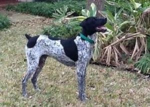 Riggs (Austin) is an adoptable German Shorthaired Pointer Dog in Austin, TX. Riggs is a young, handsome guy. He is estimated to be around 2 yrs old. He is well behaved, asks to be let out to go potty,...