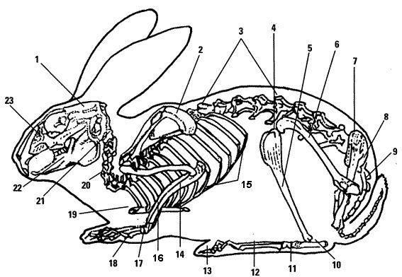 rabbit skeletons