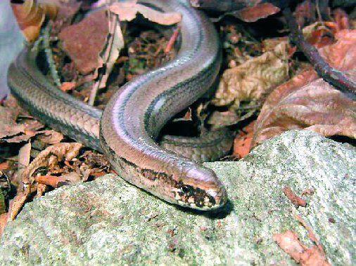 SLEPÝŠ KŘEHKÝ -je představitel beznohých ještěrek a je silně ohrožen