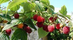 Vous voulez avoir plus de framboisiers naturellement, dans votre jardin ?