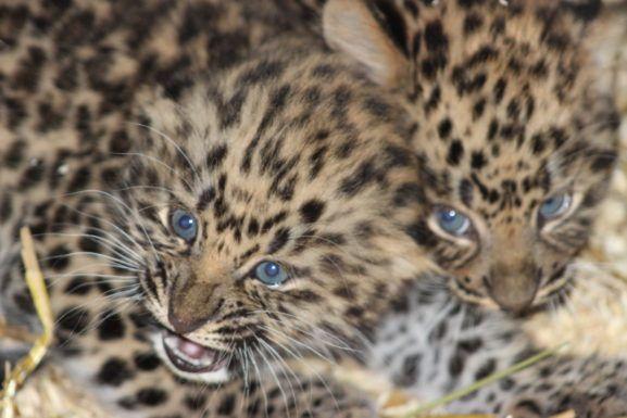 """Amurleoparden är en av världens mest utrotningshotade arter. """"Att Takara (på Eskilstuna zoo) fick tre stycken ungar är ju i sig helt fantastisk. Att alla dessutom föddes utan några – vad man kan se än så länge – genetiska sjukdomar gjorde oss extra glatt överraskade. Man kan utan att överdriva säga att artens framtid ljusnat enormt tack vare de här tre små liven."""""""