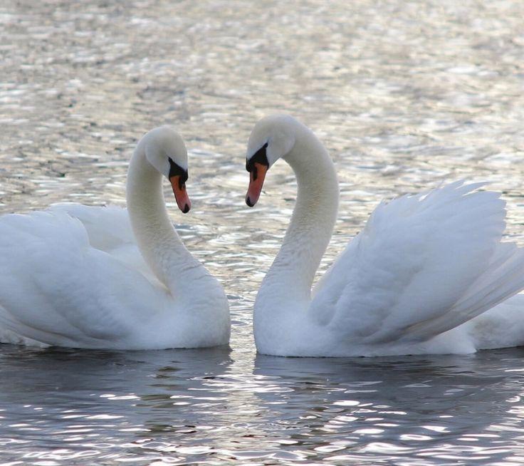 Открытка, лебеди на свадебных открытках