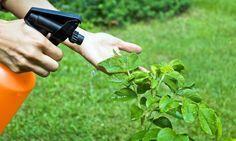 Bicarbonato en el jardín. LA HUERTA DE IVAN trae de primera mano una información tremendamente útil. ¡Bicarbonato AL RESCATE!