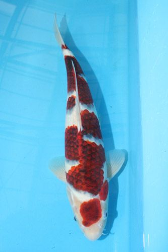 17 best images about ai goromo white koi patern of kohaku for Red and white koi fish