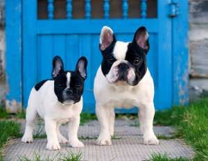 French Bulldog (Canis familiaris) adult and puppy - Mark Raycroft/Minden Picture