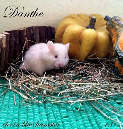 Danthe chs in blue hamster