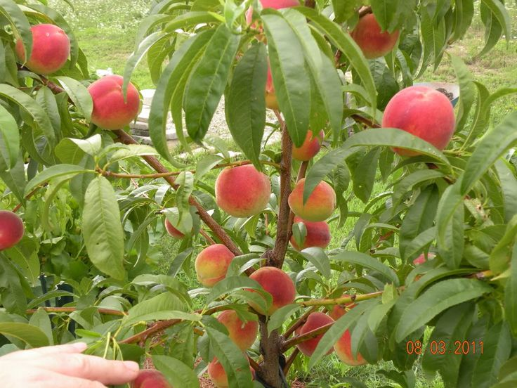 151 best fruit trees images on pinterest plants fruit trees and gardening. beautiful ideas. Home Design Ideas