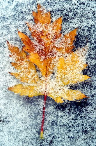 Frozen Fall Leaf -- Please consider enjoying some flavorful Peruvian Chocolate this holiday season. Organic and fair trade certified, it's made where the cacao is grown. We have Quinoa, Amaranth, Coconut, Nibs, and coffee varieties and a flavorful dark chocolate. Available on Amazon! Fast shipping, 2 days to most locations. http://www.amazon.com/gp/product/B00725K254