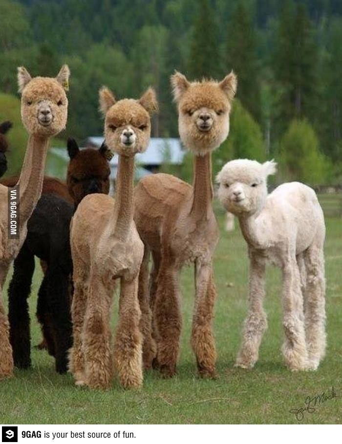 Shaved llamas - the funniest thing you will see all day!