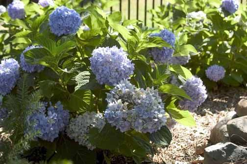 Cut the stem just above the first set of leaves beneath the spent flower at a thirty degree angle. Use this technique throughout the growing season to maximize blooms on your Endless Summer hydrangea.