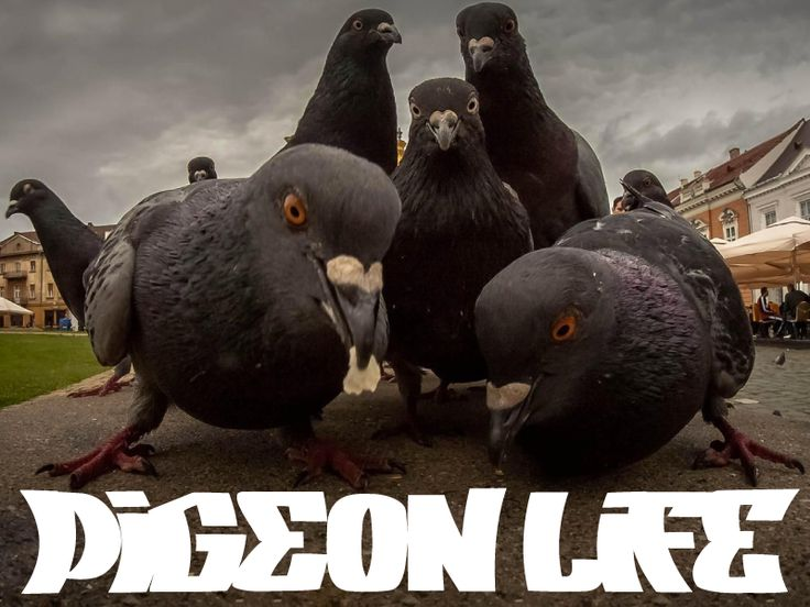 bf2a0e214dd86d11033ccc8ace47c4f6 pigeon jesus 29 best pigeon funnies images on pinterest ha ha, funny images and