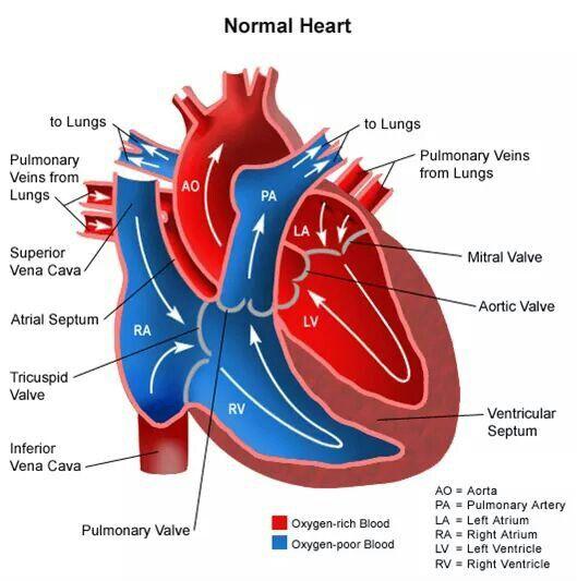 Heart valve anatomy diagram