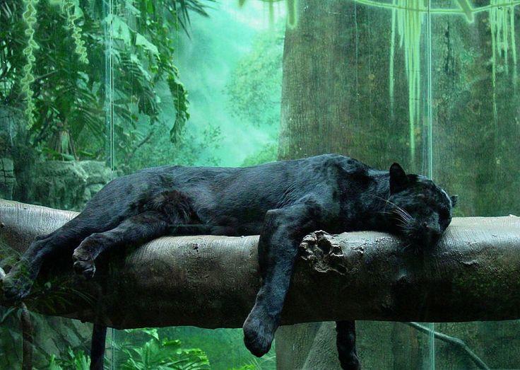 _giaguaro-nero_