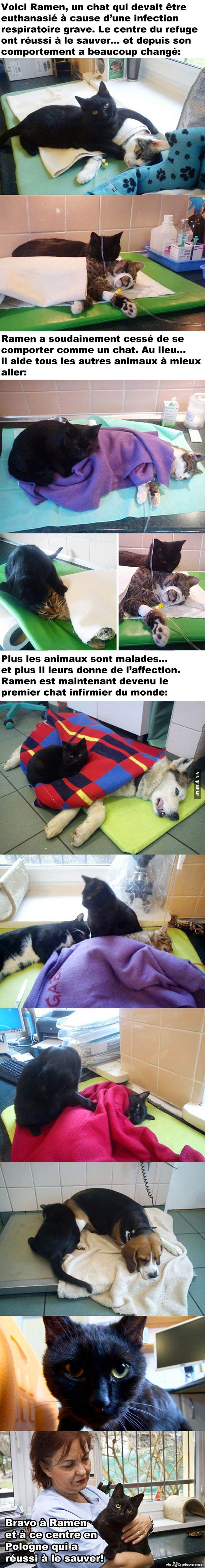 L'histoire de Ramen, le premier chat infirmier aidant les autres animaux à mieux…
