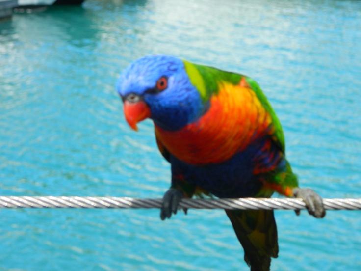 rainbow lorikeets...
