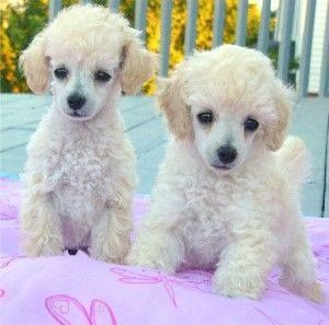 Two cute toy poodles love those little faces