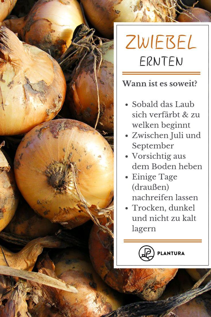 Rote Braune Und Weisse Zwiebeln Herkunft Anbau Und Sorten Zwiebeln Ernten Garten Und Garten Ideen