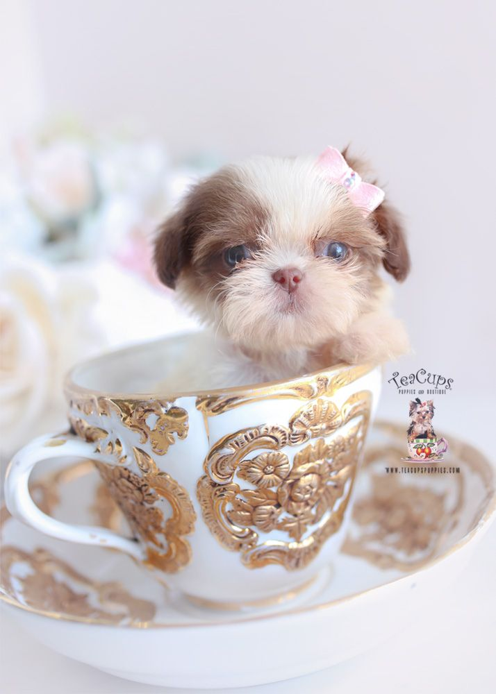 Toy Poodles South Florida Teacups Puppies Boutique Teacup Puppies Shih Tzu Puppy Cute Teacup Puppies