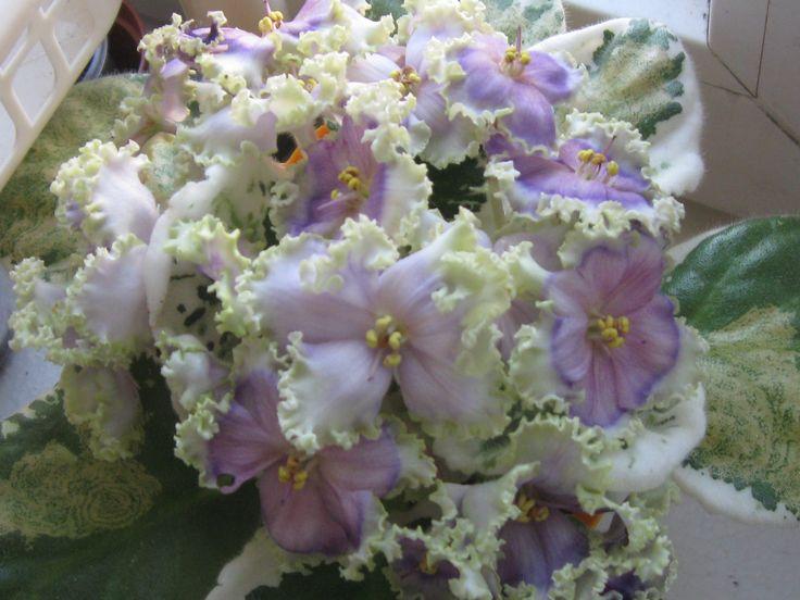 знакомство с растениями фиалка донская